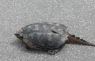 Why does the turtle cross the road?